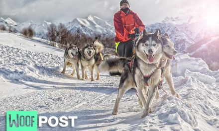 Modern Sled Dog Breeds Are Older Than We Thought