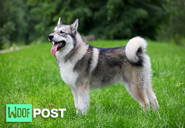 Breed Center Stage Alaskan Malamute Woof Post Stubborn alaskan malamute talks back. breed center stage alaskan malamute