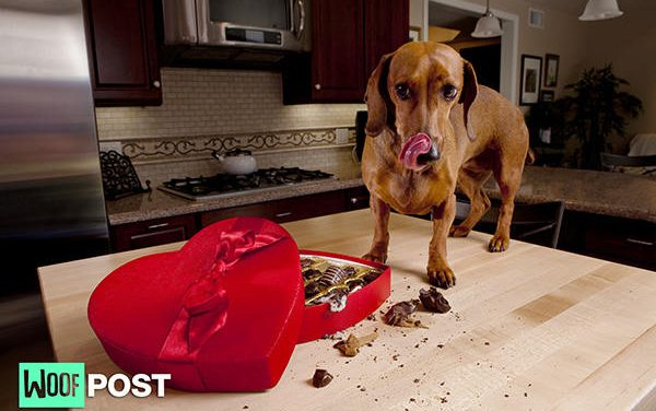 Valentine's Day Chocolate Can Spell Trouble for Dogs