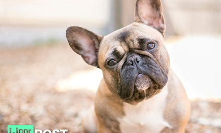 Breed Center Stage – French Bulldog