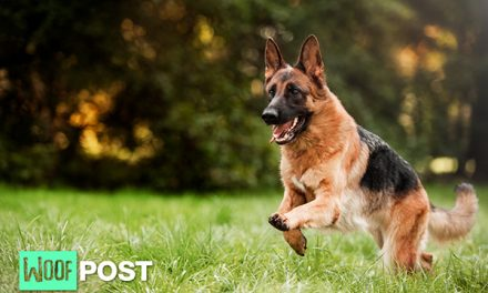 Breed Spotlight – German Shepherd