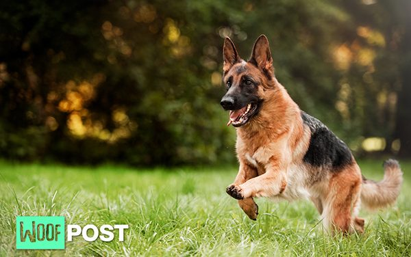 Five Amazing Facts About German Shepherds