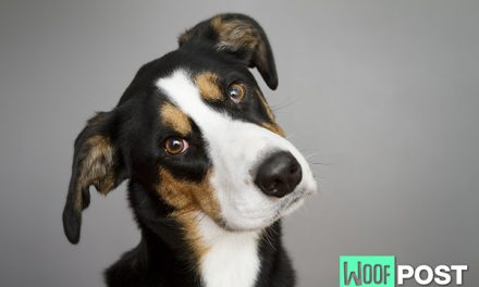 Why Do Dogs' Eyes Look So Sad?