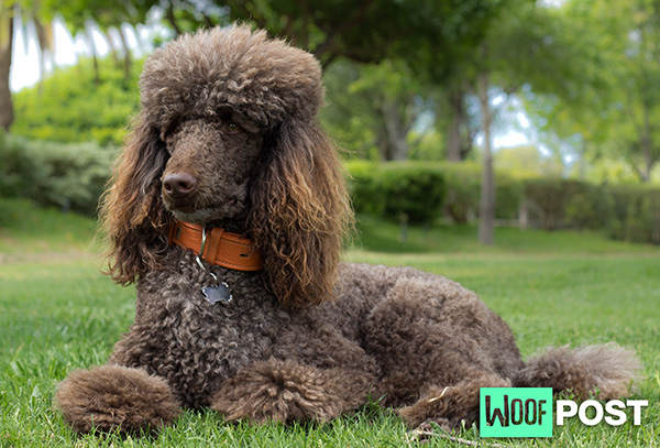 Breed Center Stage – Standard Poodle