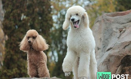 Poodlemania – Six Poodle Quotes To Make You Smile
