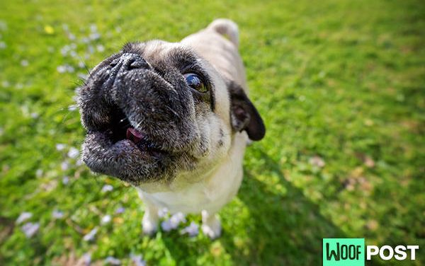 What The Howl?! Why Dogs Howl And What It Means