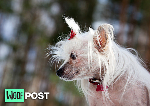 Is There Really A Dog That Is Hypoallergenic? Five Dog Breeds To Consider
