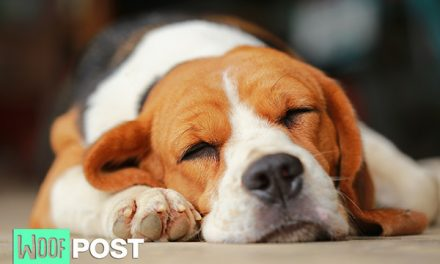 Dog Insomnia May Be Due To Stress