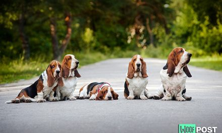 Breed Spotlight – Basset Hound
