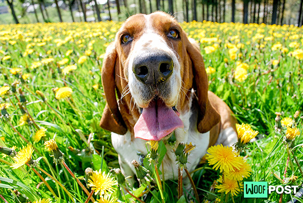 Five Fun Facts About Basset Hounds