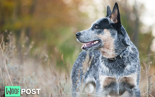 Breed Profile – Australian Cattle Dog (Blue Heeler)