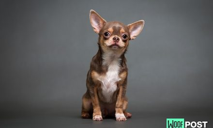 Breed Spotlight – Chihuahua