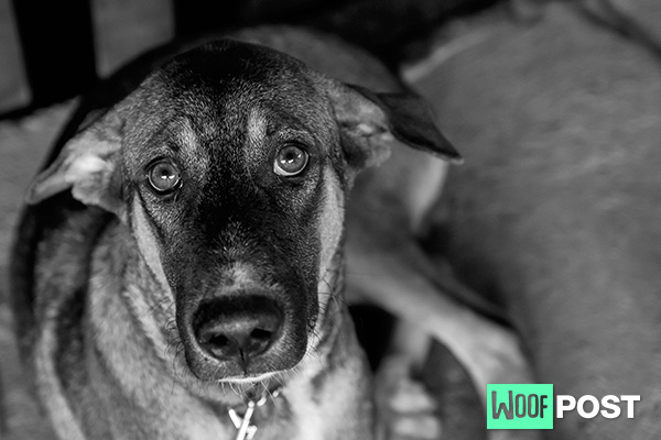 Separation Anxiety In Your Dog: Medical and Behavioral Causes – Part Three