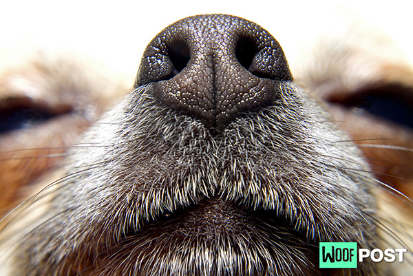 A New Sense Discovered In Dogs – Their Nose Knows!