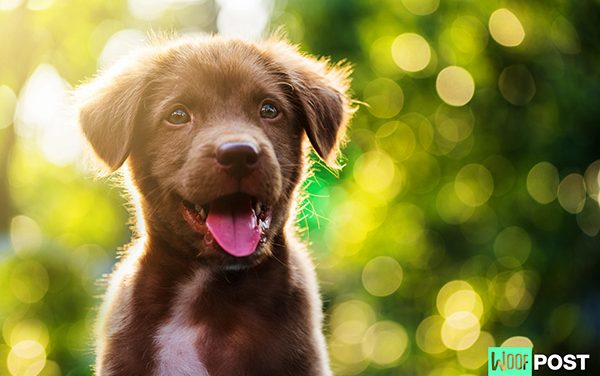 Why Is This Dog Breed The Most Popular In The U.S.?