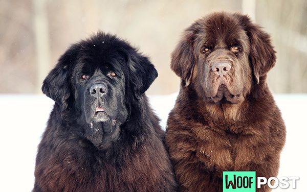 Breed Spotlight – Newfoundland