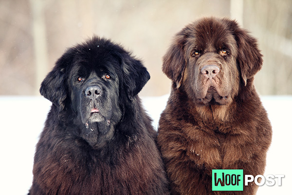 Five Fun Facts About Newfoundlands