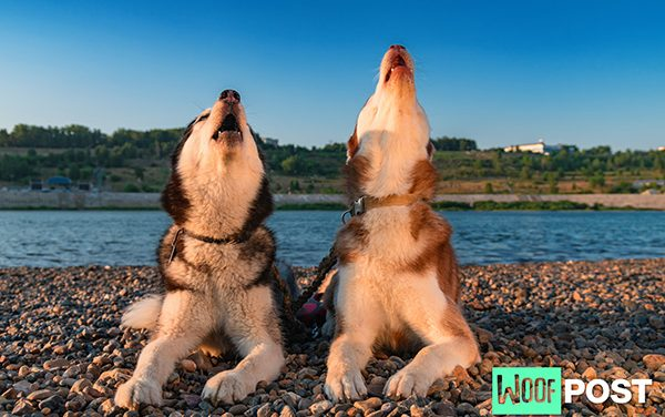 How To Teach Your Dog To Howl