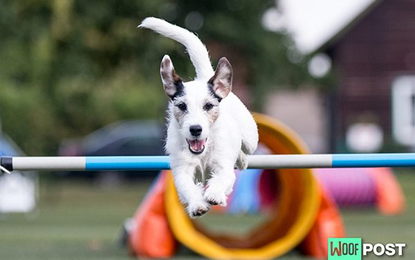 Beginning Agility Training With Your Dog