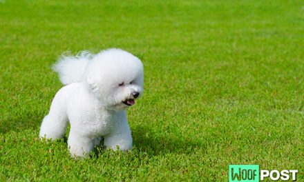 Breed Spotlight – Bichon Frise