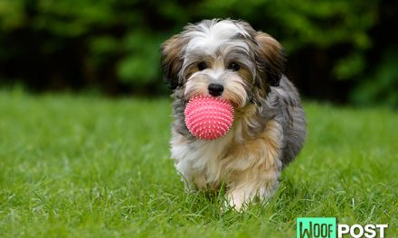 Breed Spotlight – Havanese