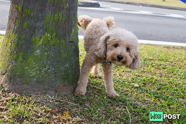 Why Do Male Dogs Lift Their Legs To Pee?