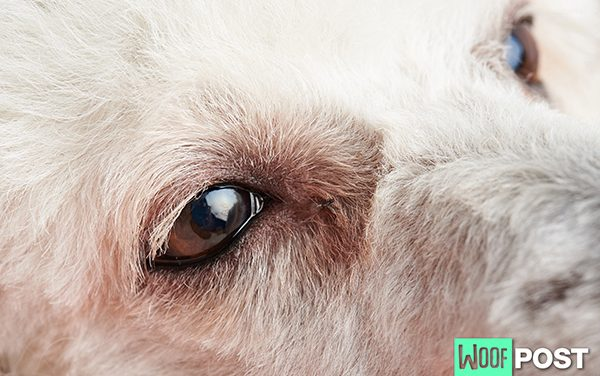 Pink Eye In Dogs And What To Do About It