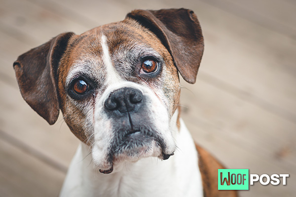 Why Does Your Dog Stare At You?