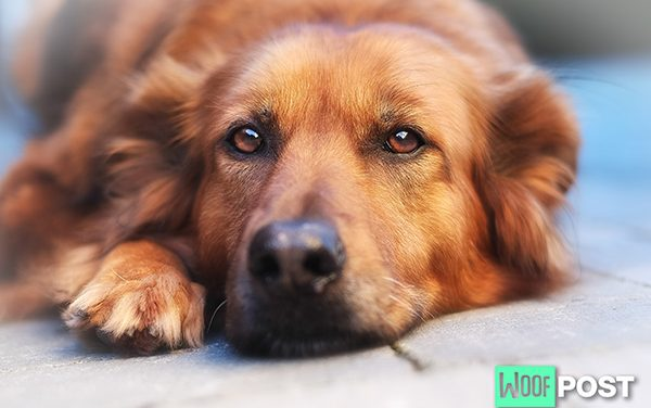 Heartworm In Dogs – Diagnosis and Treatment
