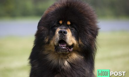 Breed Spotlight – Tibetan Mastiff