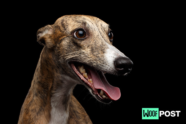 Seven Fun Facts About Whippets