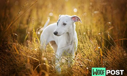 Breed Spotlight – Whippet
