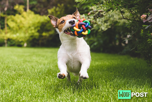 Why Does Your Dog Shake His Toys?