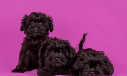 Breed Spotlight – Affenpinscher