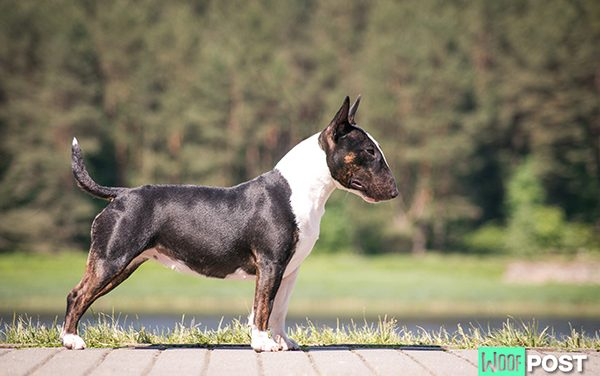 Breed Spotlight – Bull Terrier