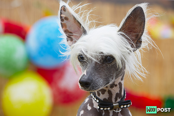 Breed Spotlight – Chinese Crested