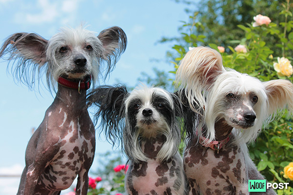 Five Fun Facts About The Chinese Crested