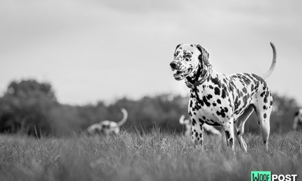 Five Fun Facts About Dalmatians