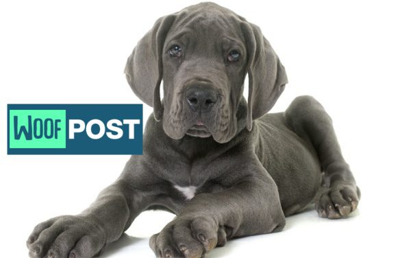 Five Great Dane Fun Facts