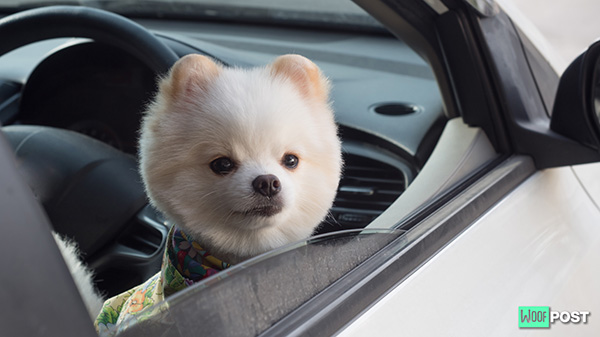 Can You Take Your Dog With You In An Uber?