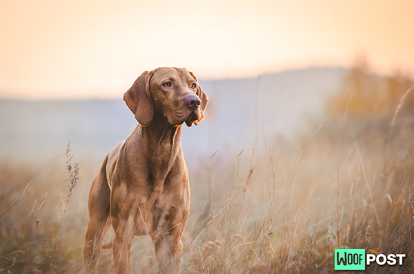 Breed Spotlight – Vizsla