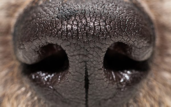 Why Are Dogs' Noses Wet?