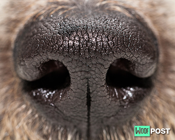Can Dogs Sniff Out Coronavirus?