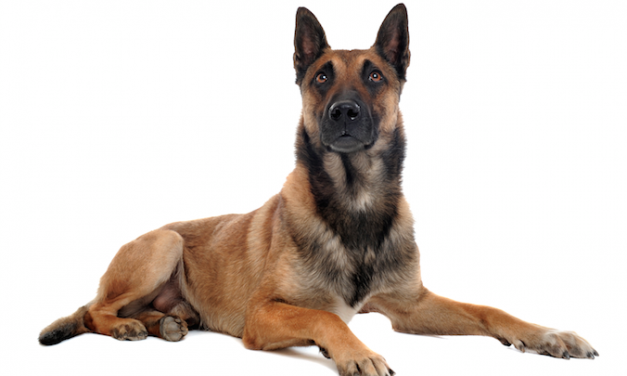 A Belgian Malinois Named Roux Demonstrates This Breed's Protective Nature