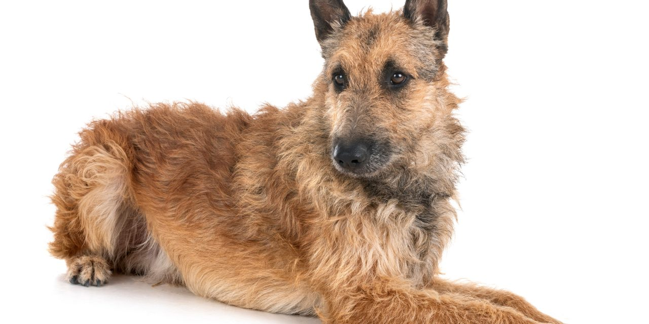 The Belgian Laekenois Becomes The Latest AKC Recognized Breed